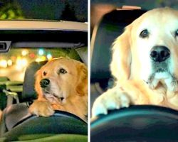 Adorable Papa Dog Drives Around In His Car Trying To Make His Puppy Fall Asleep
