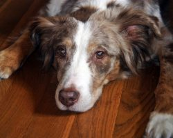 20 Things All Australian Shepherd Owners Must Never Forget