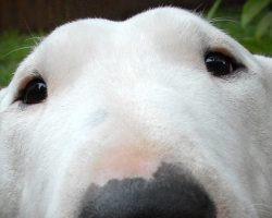 12 Reasons Why Bull Terriers Are The Most Dangerous Pets
