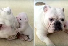 Bulldog Puppy Throws Hilarious Temper Tantrum, Rebels Against His Cool Mama Dog