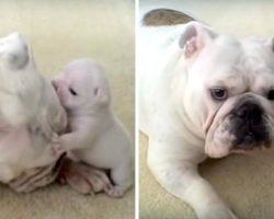 Bulldog Puppy Throws Hilarious Temper Tantrum, Rebels Against His Cool Mama Dog