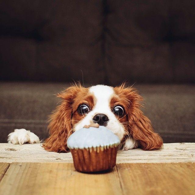 cavalier spaniel dog food cake