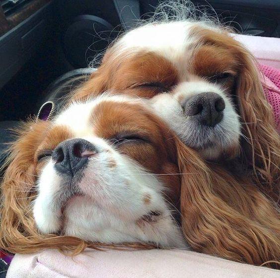 cavaliers spaniels sleep car