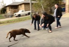 Chocolate Labrador Who'd Been Missing For 5 Years Sees His Family Again