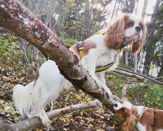 climbing, tasting, cavalier king charles spaniels