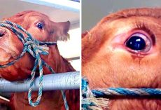 Cow Sheds Tears As Owners Planned To Send Her To Slaughterhouse After Exploiting Her