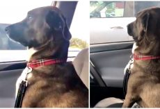 Dog Assumes He's Going To Park, Ends Up At Vet & Snubs Mom With Silent Treatment