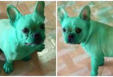 French Bulldogs Raid The Kitchen And Turn Green While Their Mom Goes Out