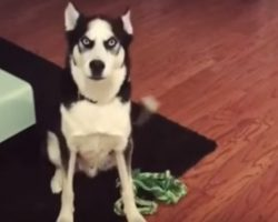 "Husky Gets a Scolding From Mom, Throws ""Oscar-Winning"" Tantrum"
