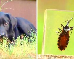 """""""Kissing Bug"""" Fatally Infecting Dogs & Killing Them Within Days, Owners Warned"""