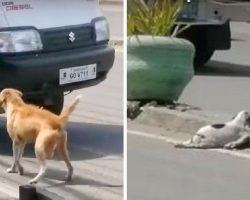 Mother Dog Makes Heart-Wrenching Cries For Help After Car Runs Over Her Puppy