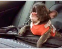 Owner Put French Bulldog In Car Seat, Decides To Throw The Biggest Temper Tantrum
