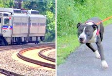 Owner Tied Dog To Railroad Track In Order To Kill Him, Dog Cries In Fear All Night