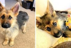 2-Year-Old German Shepherd With Dwarfism Still Looks Like A Puppy, Begs To Be Loved