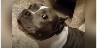 Rescued Pit Bull Has Nonstop Conversations With Her Dog Mom