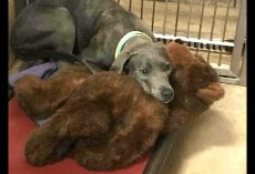 Scared Dog Clinged To Her Teddy Bear After Being Dumped At 'Kill Shelter' By Her Family