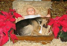 Homeless Pup Sought Warmth On Frigid Night, Curled Up In Nativity Scene Manger