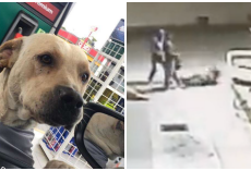 Street Dog Adopted By Gas Station Came To The Rescue During An Armed Robbery