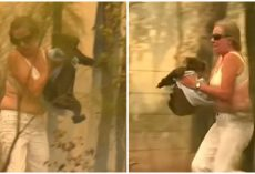 Woman Saved Burned And Screaming Koala Using Only Shirt Off Her Back