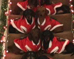 Proud Papa Lines Up His 17 Dachshunds On The Steps For Christmas Photo