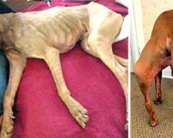 They Broke His Bones But Couldn't Crush His Spirits, He's Now A Hero Therapy Dog