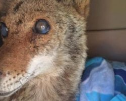 Blind Coyote Survives The Worst, Gives Birth The Next Day With Rescuers