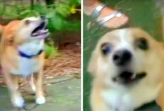 Meter Reader Unnecessarily Pepper Sprays Harmless 10-Pound Dog Because He Barked