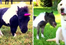 Dwarf Horse Rejected By Mother Had Nowhere To Go, Gets Adopted By Dog & Thrives