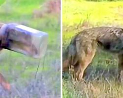 Coyote Who Has Head Stuck In A Jar For 10 Days Getting Sicker Due To Starvation