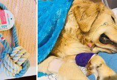 "Dog Owner Posts ""Heartbreaking Warning"" After Golden Retriever Dies From Rope Toy"