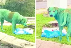 Miscreants Vandalize Dog With Green Paint, Dog Found Crying & Looking For Food