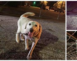 Dog Shackled To Animal Shelter Fence Was Found Precisely At The Right Time