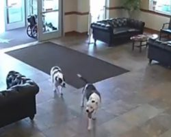 """Everyone Was """"Caught Off Guard"""" When Two Pit Bulls Wandered Into The Hospital"""