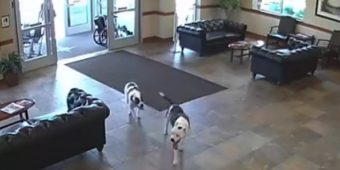 "Everyone Was ""Caught Off Guard"" When Two Pit Bulls Wandered Into The Hospital"