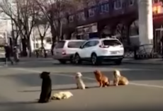 Drivers Notice Four Dogs Blocking Traffic Because Their Friend Is Down