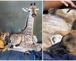 Loyal Dog Senses Something Wrong & Stays By Giraffe's Side As He Passes Away