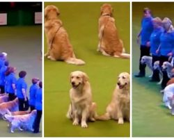 16 Talented Golden Retrievers Bring Down The House At Packed Arena