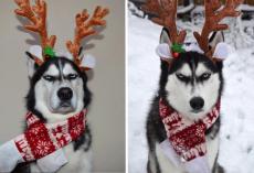 Unimpressed Husky Makes For Awkward Christmas Card Photo Shoot