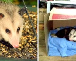 Unloved, Sick Elderly Opossum Finds Shelter With A Kind Woman In His Final Days