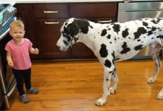 Little Girl Tries To Teach Her Great Dane To Sit For Treats And She's Thrilled When It Works