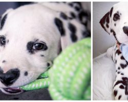 """Meet Wiley, Most Adorable Dalmatian With A """"Heart"""" On His Nose"""