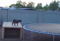 "Mischievous Baby Goat Finds A Trampoline, And Had The ""Time Of His Life"""