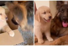 German Shepherd Is Obsessed With His New Golden Retriever Puppy