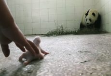 Panda Mom Rejected Her Newborn But Luckily Her Instincts Finally Kicked-In