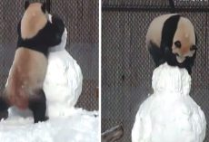Determined Panda Takes On Snowman In Winter Wrestling Match