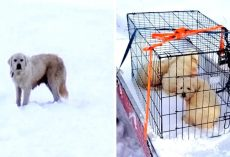 Couple Find 3 Shivering Puppies Living In A Sheep Carcass, Hunt For Mama Dog On