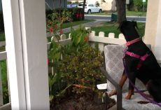 Recently Adopted Shelter Dog Waits With Excitement For Her Owner To Return Home