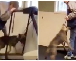 Exhausted German Shepherd Wants Off Treadmill, Angry Trainer Swings Dog In Air
