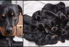 Rottweiler Gave Birth In The Middle Of Night, Babies Kept Coming Til 15 Were Born