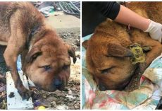 Dog's Collar So Tight His Head Was Extremely Swollen And Jugular Vein Exposed